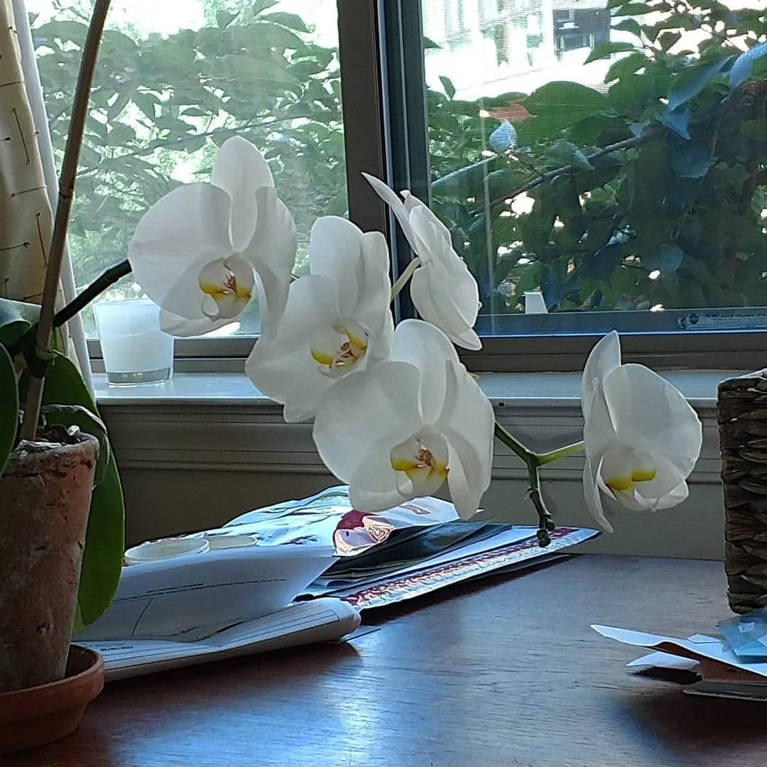 The wonderful orchid from a dear friend in full bloom once again, 7-19.