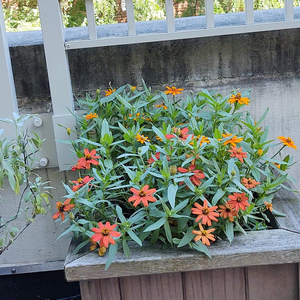 Zinnias on our terrace are blooming like crazy, 8-20.