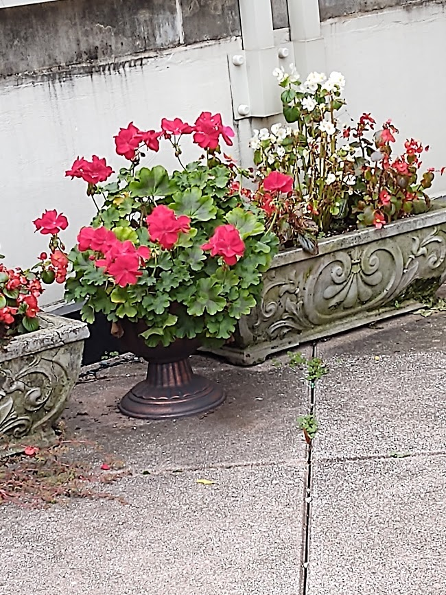 Geraniums came back despite the cold! We'll see how long they last, 11-20.