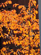 Last remnants of changing fall leaves in Virginia, 11-20.