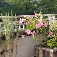 A blooming terrace, with Lemongrass and a lovely mandevilla, 6-20.