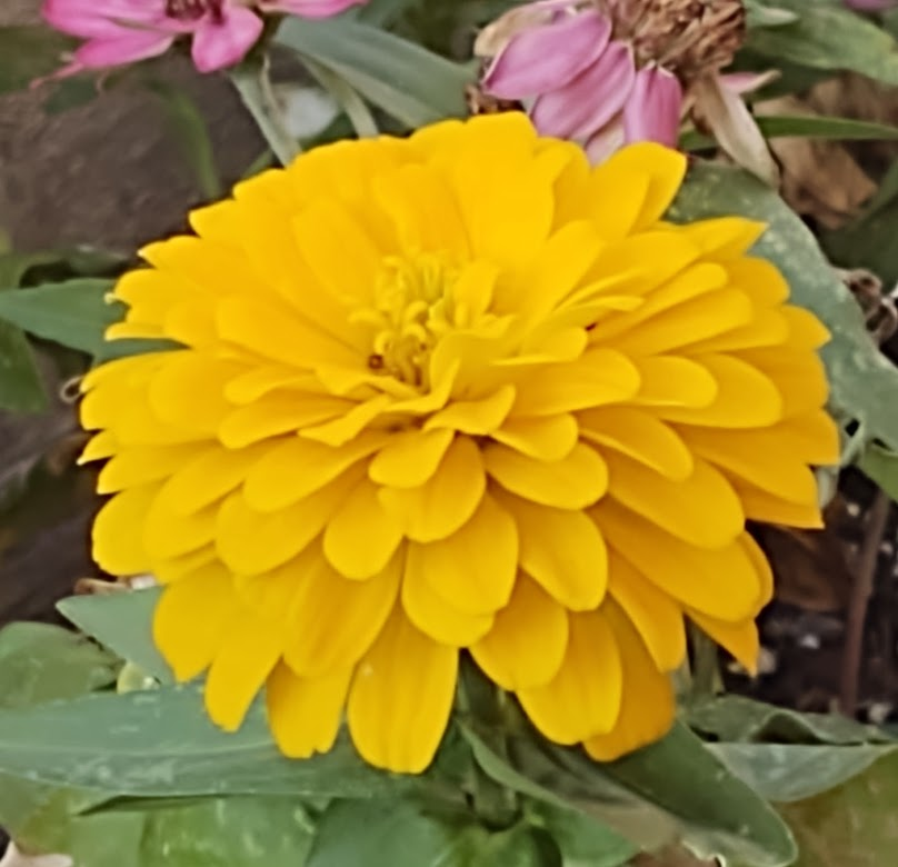 A very cheery zinnia to brighten our day, 8-21.