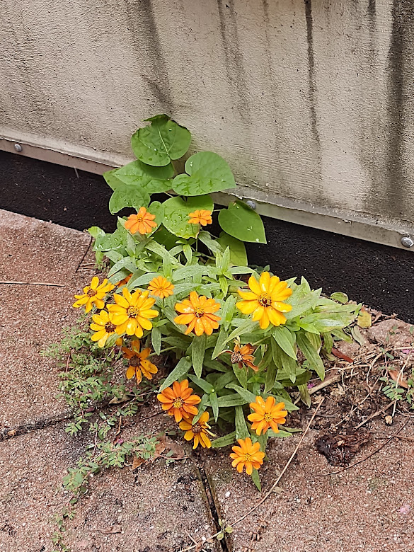 """A bunch of """"volunteer"""" zinnias on our terrace giving us hope for the future, 9-21."""